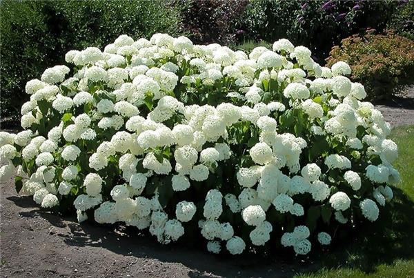 foto de Hydrangea arb Annabelle Pot C2 Central Jardin
