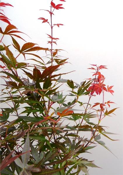 Acer Palmatum Skeeters Broon Red Pillar Pot 19 Central Jardin