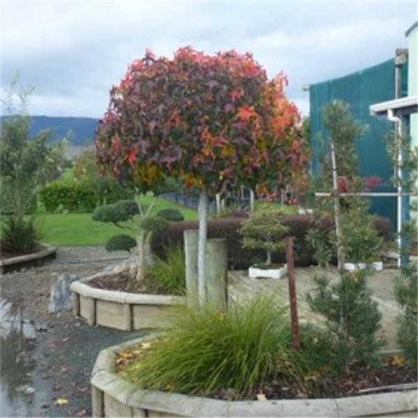 liquidambar styraciflua gumball ht 14 16 tronc 220 cm central jardin. Black Bedroom Furniture Sets. Home Design Ideas