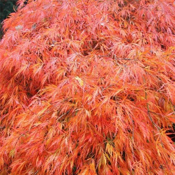 Acer Palmatum Dissectum Orangeola 100 125 Cm Central Jardin