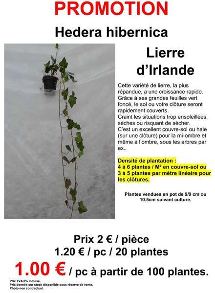 Hedera Helix Hibernica P105 Promo Central Jardin